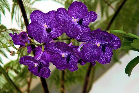 Orchideen Vanda-Hybriden
