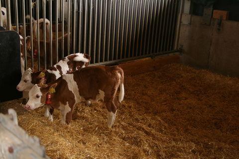 Junge Kühe