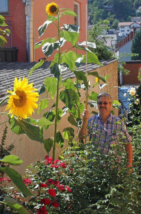 3,20 m Höhe ereichte diese Sonnenblume.