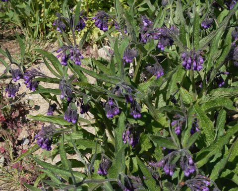 Beinwell dient er im Garten als Bodenverbesserer (Mulchen).