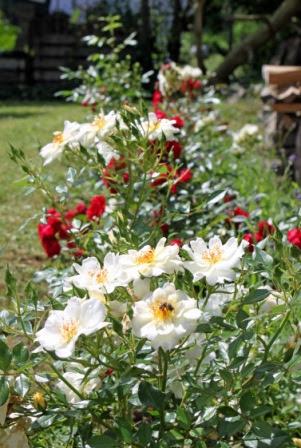 Die verblühten Blüten werden bis zum ersten, gut entwickelten Laubblatt mit schlafendem Auge entfernt.
