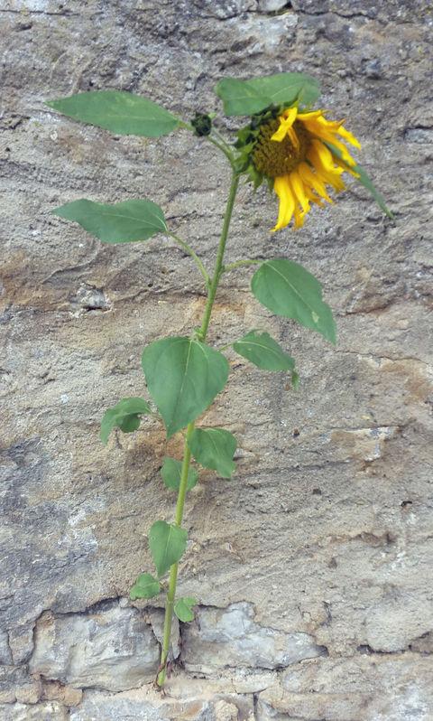 Sonnenblumen-Wettbewerb - Ausser Kongurrenz