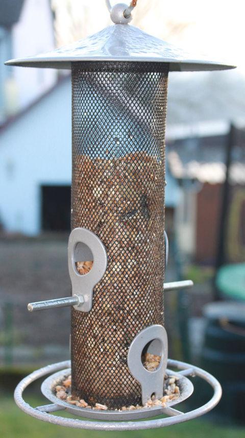 Die beifußblättrige Ambrosie wurde mit verunreinigten Vogelfutter eingeschleppt.