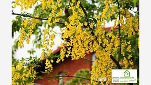 Der Goldregen steht in vielen Gärten und ist auch sehr schön. Seine Hülsen mit dem Samen und Blüten sind aber giftig.