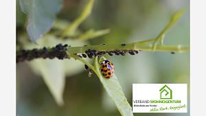 Förderung der Nützlinge (Marienkäfer, Schwebfliegen, Florfliegen usw.) ist sehr zu empfehlen.