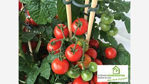 Tomaten ausgeizen und entspitzen