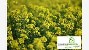 Gelbsenf als Gründüngung auf einem Gemüsebeet.