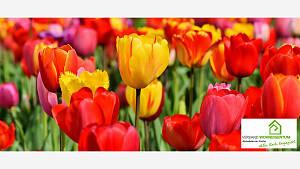 Verlängerte Pflanzzeit für Tulpe, Narzisse und Krokus