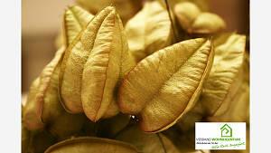 In jedem Lampion entwickeln sich 3 Samen.